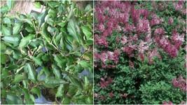 1 Starter Plant Approx 7-10 Inch Syringa Miss Kim Lilac Fragrant - Garde... - $31.99