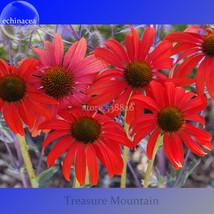 Rare 'Sprite' Fire Red Echinacea, 100 Seeds, big petals with small heart coneflo - $6.22