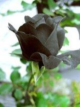 400 seeds / pack, Black Rose Shrub Perennial Flower Seeds plants Home and Garden - $12.70