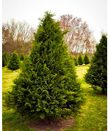 Live Plant Murray Cypress Tree - Privacy Fence - Trade Gallon Pot FREESH... - $76.00