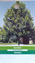 SYCAMORE 4-6 FT Tree Plant Large Trees Plants Shipped To All 50 States USA - $96.95