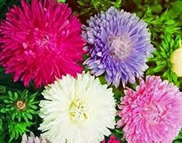 Aster, Giants of California 500 Seeds Organic, Beautiful Vivid Bright Bl... - $10.79