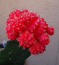 Fair- Moon Cactus Gymnocalycium Mihanovichii - 4'' pot - $18.62