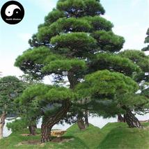 Buy Black Pine Tree Seeds 200pcs Plant Pinus Thunbergii Tree Chinese Hei... - $15.99