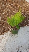 "Foxtail Fern - Asparagus meyeri / aethiopicus - 4"" Pot - $52.00"