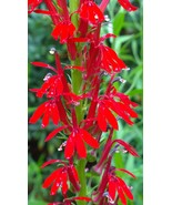Organic Native Plant, Cardinal Flower, Lobelia cardinalis - $3.75