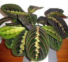 Red Prayer Plant Home Office Decor Houseplant Flower Gift Big Oval Leave... - €8,31 EUR