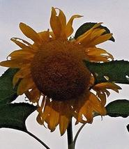 15 Seeds of Helianthus Sunflower Single Huge Heads Long Petals & Big Yellow Cent - $11.74