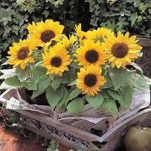 30 Helianthus Annuus Incredible Dwarf Sunflower Seeds - $9.99