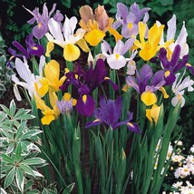 3 Bulb Organic - Iris Dutch Mix Perennial Flower - $10.45