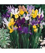 3 Bulb Organic - Iris Dutch Mix Perennial Flower - $10.45