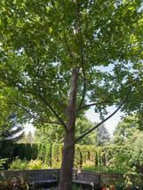 American Sycamore qt. pot (Platanus occidentalis) image 3