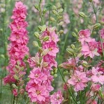 Delphinium -Consolida -Rose Queen- 50 seeds - $9.86