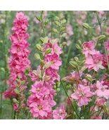 Delphinium -Consolida -Rose Queen- 50 seeds - $4.99