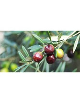 Live Plant Coratina Olive Tree - Olea europaea - Garden & Outdoor Living - $55.99