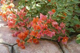 Live plant - Bougainvillea - 'Orange King' - Outdoor Living - Gardening -  tkgg - $44.99