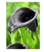 HAPPY FLOWER 2 Bulbs True BLACK SWEET Calla Lily Flower Zantedeschia Lov... - $2.48