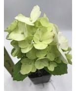 HYDRANGEA White In 2 INCH POT - $6.18