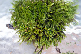 Live Sheet Moss - For Terrariums, Carnivorous Plants - Quart Bag - $20.50