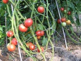 25 Seeds Arkansas Traveller Tomato - $18.81