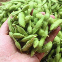 Super 10 Seeds Glycine Max Widely Cultivated Soybean Green Soya High Yield - $1.99