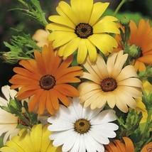 1000 African Daisy Seeds - Mix (Dimorphotheca Aurantiaca Mix) Cape Marigold - $2.92