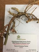 ALLEGHENY  SPURGE 10 roots ,(Pachysandra procumbens) image 1