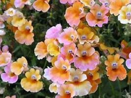 SHIP FROM US 60 Seeds Nemesia Carnival Mix Flower,DIY SB Flower Seeds - $27.99