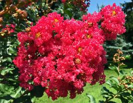 'Centennial Spirit' Crape Myrtle Rose red live plant - $28.43