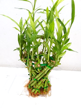 Basket Shaped Lucky Bamboo Plant Unique The perfect green gift idea for ... - €27,16 EUR
