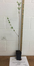 Japanese Dappled Nishiki Willow 1 qt. pot shrub/tree image 4