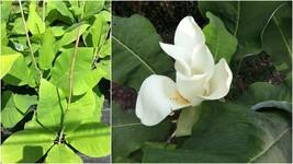 Big Leaf Magnolia Tree (1-2') - Home Garden Outdoor Living - $77.99