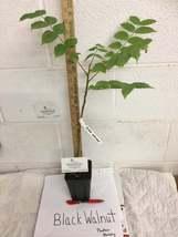 Black Walnut tree quart pot image 5