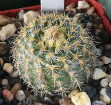 Frailea heliosa Minature Ball Shape South American Cactus 1 - $8.86