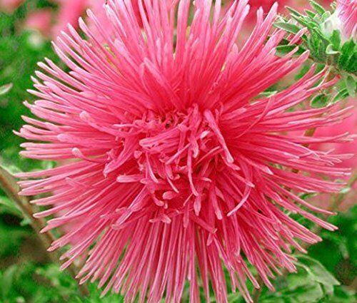 SHIP FROM US 30 Seeds SALMON NEEDLE ASTER Callistephus Unicom Flower Seed SBR4 - $11.99