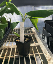 Gros Michel Banana Plant - RARE Variety - Live Plant - $44.99