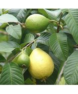 Pink Guava Exotic Tropical Fruiting Perennial Ornamental Fruit Tree - 10 Seeds - $4.99