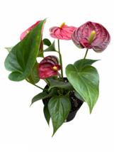 """4"""" Pot Anthurium - beautiful red blooms! - Living Room - Gardening - Hou... - $71.99"""