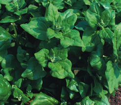 50pcs Very Tasty Edible Spinach Heritage New Zealand Seeds IMA1 - $13.99