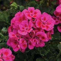 50 Purple Sizzle Geranium Seeds Hanging Basket Perennial Flowers – TTS - $29.95