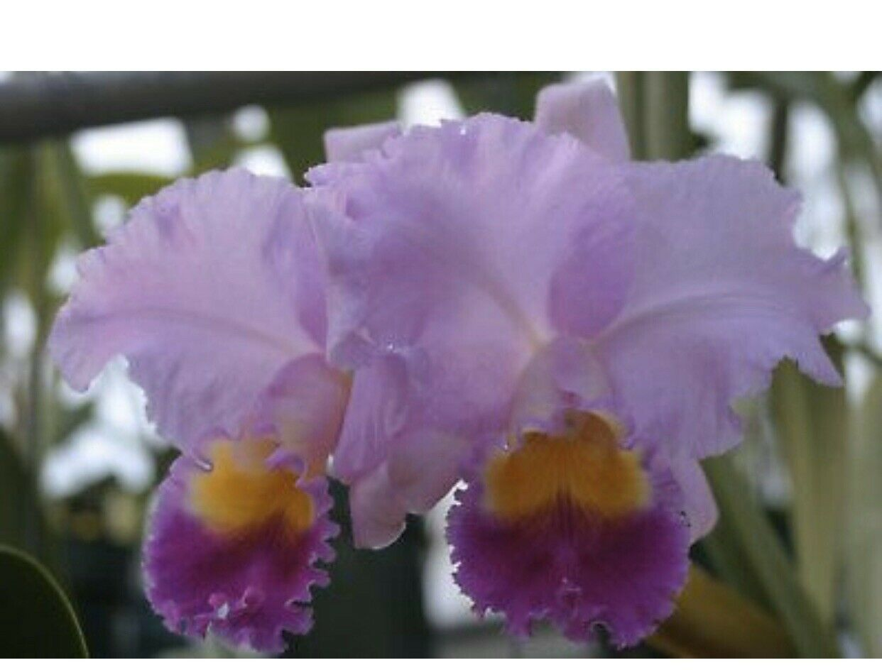 C. Horace Maxima' CATTLEYA Orchid Plant Pot BLOOMING SIZE 0501 V