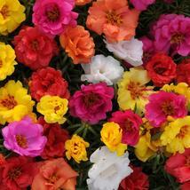 Moss Rose Mix 200 Flower Seeds - $12.98