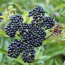 Established - Johns Elderberry Bush - Fruit Shrub - 1 Plant in 2 Gallon Pot - $118.00