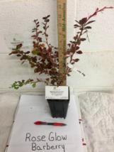 Rose Glow Barberry shrub qt. pot (Berberis thunbergii 'Rose Glow')  image 7