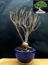 Ficus Nerifolia Bonsai - Natural bonsai - 16 year old plant #2 - $128.11