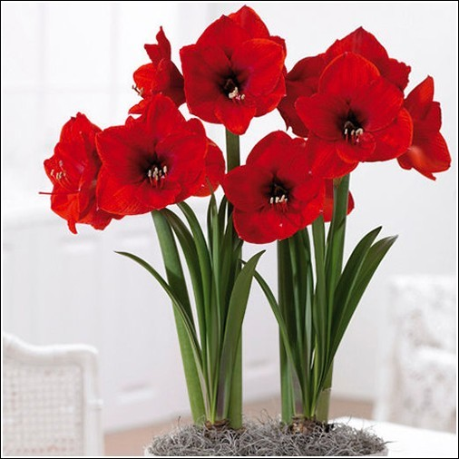 1 Bulb of Amaryllis RED LION, Dutch Hippeastrum, Size 36