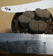 Lithops Variety #46 Living Rock Succulent Plant - $11.83