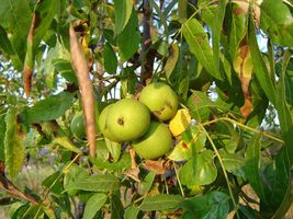 5 Seeds of Northern California Hinds Black Walnut , Juglans hindsii (DS) - $24.00