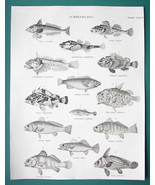 FISHES Gurnard Bullhead Rockfish Scorpion Drumfish - c. 1835 Fine Qualit... - $16.83