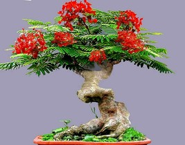 Bonsai Flamboyant Flame Tree Seeds to Grow 10 Seeds Delonix regia, Prized - $23.81